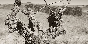 Trunk disease and the threat to old vineyards